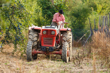 Old farmer with tractor harvesting plums