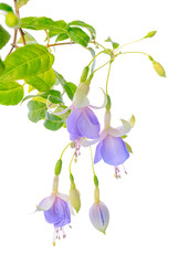 blooming beautiful twig hanging fuchsia flowers in shades of blu