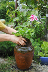 Geranium in the hands for planting in a pot
