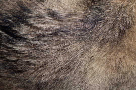 Fur of wolf / Abstract texture background of fur of wolf.