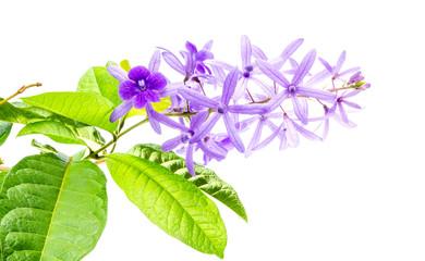 Petrea volubilis flowers on a white background, Purple vine flower