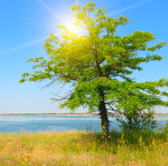 onely tree on the shore of the Gulf