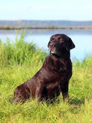 Chocolate Labrador autumn morning on the lake