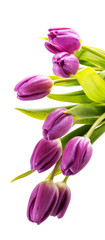 Bouquet of purple tulips on white