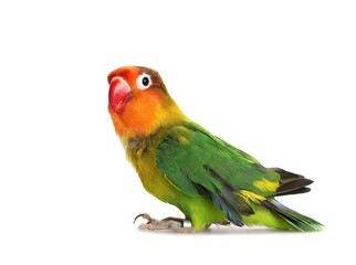 Lovebird isolated on white Agapornis fischeri, Fischer's Lovebird