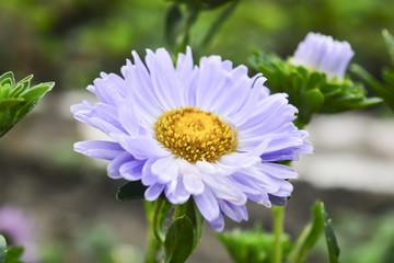 красивые летние цветы астра