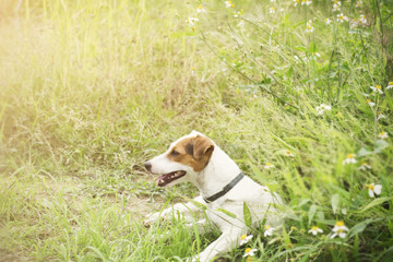 jack russell dog sitting in grass.