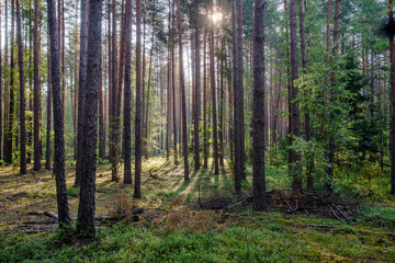 Dawn on bilberry glade in the forest