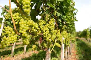 Moselle wine grapes on a vine