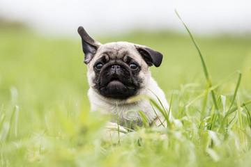 Mopswelpe läuft schnell durch das hohe Gras