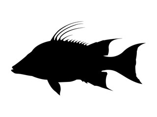 Hog snapper / Hogfish silhouette. Vector illustration.