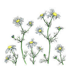 hand drawn watercolor flower camomile on white background