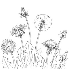hand drawn graphic flowers dandelion on white background