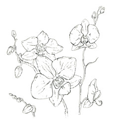 hand drawn graphic flower orchid on white background