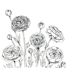 hand drawn graphic flower Ranunculus on white background