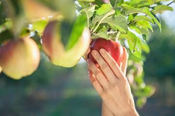 Woman hand picking  apple