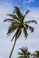 Palm trees with coconuts. Goa, India.