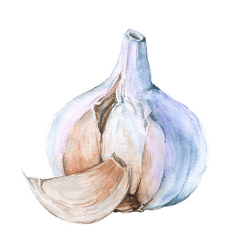 Garlic clove.isolated on a white background. watercolor illustration.