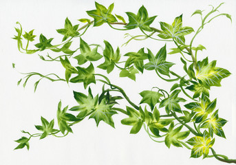 Ivy twig isolated on white original watercolor painting