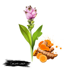 Curcuma flower and root isolated on white