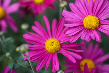 Daisy with purple petals grow from the garden.