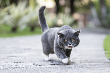 The gray shorthair cat