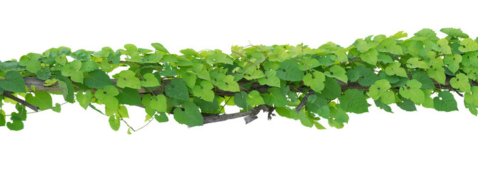 vine plants isolate on white background