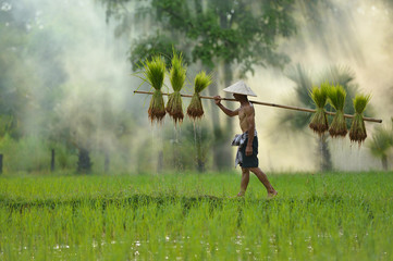 The farmer holding ricebaby on green fields ,Thailand