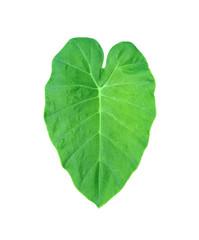 "Green heart leaf ""Elephant Ear Plant"". Mobile photography"