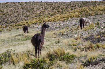 Alpaca in Andes mountains platea near Arequipa, Peru