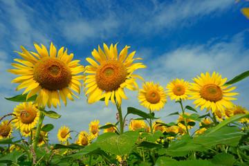 太陽に向かってリズミカルに花を広げるヒマワリ 青空に大きな花を咲かせるヒマワリに元気をもらった。