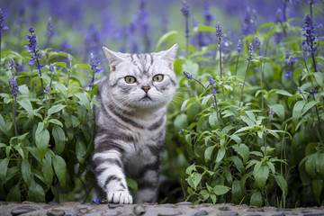 The cat lavender flowers