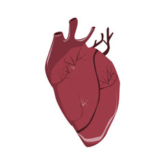 Isolated realistic human heart on white background. Human anatomy. Organ with artery, aorta, blood and more.