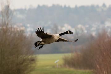 Vogel, Kanadagans im Flug
