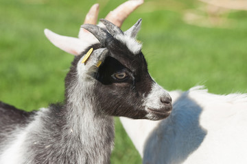 Young goat with black spots