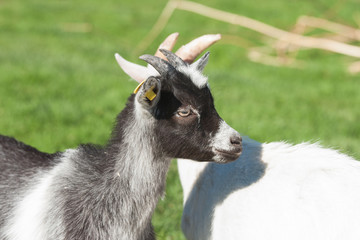 Kid goat with black spots on a rural meadow