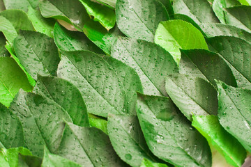 Fresh green leaves with dew background. Bright summer backdrop of tree foliage, close up
