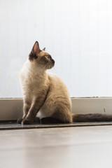 The cute Siamese cat