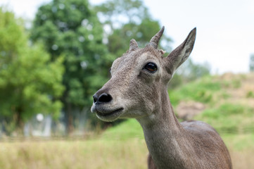 The head of a young gazelle close-up