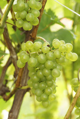 The branch of grapes growing in the garden.