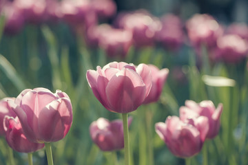pink tulip flowers closeup