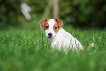 jack russell terrier puppy sitting on grass