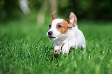 red and white jack russell terrier puppy running outdoors