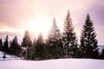 Conifer trees with sun and flakes of snow, nature winter christmas background