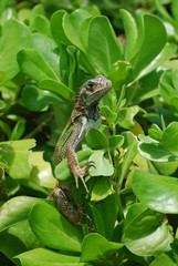 Green Common Iguana Sitting in a Shrub