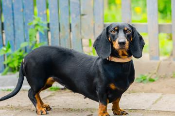 Black Dachshund. An adult dog. age 2 years