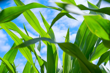 Leaves of corn in sunny day