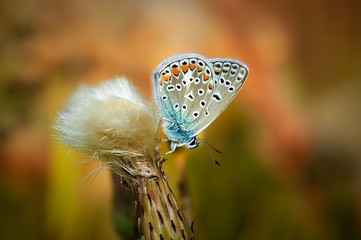 Polyommatus bellargus, Adonis Blue, is a butterfly in the family Lycaenidae. Beautiful butterfly sitting on flower.