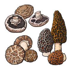Fototapeta Set of portobello, morel and shiitake edible mushrooms sketch style vector illustration isolated on white background. Collection of edible mushrooms - shiitake, morel and portobello obraz