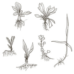 Set of line drawing herbs with roots